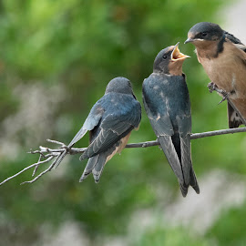 Sibling Rivalry by Jack Nevitt - Animals Birds ( barn swallow, arguing, fledglings, bird, babies, fighting )