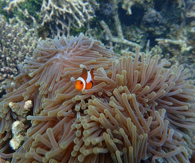 Clownfish  di roberta_cozzolino