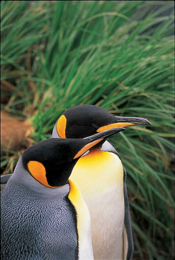 south-georgia-falklands-king-penguins-closeup.jpg - Two king penguins stand side by side in Salisbury Plain of South Georgia and the South Sandwich Islands.