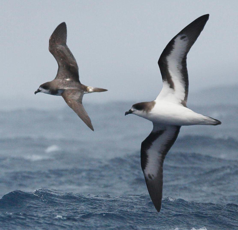 Bermuda_Petrel_From_The_Crossley_ID_Guide_Eastern_Birds_crop.jpg