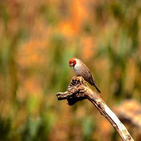Thinking Bird by Christo W. Meyer - Animals Birds