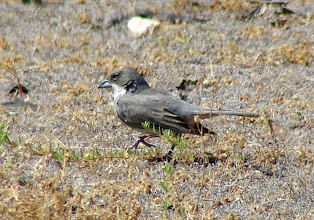 Photo: Common Diuca-finch - La Campana National Park - Chile - Nov 15, 2010