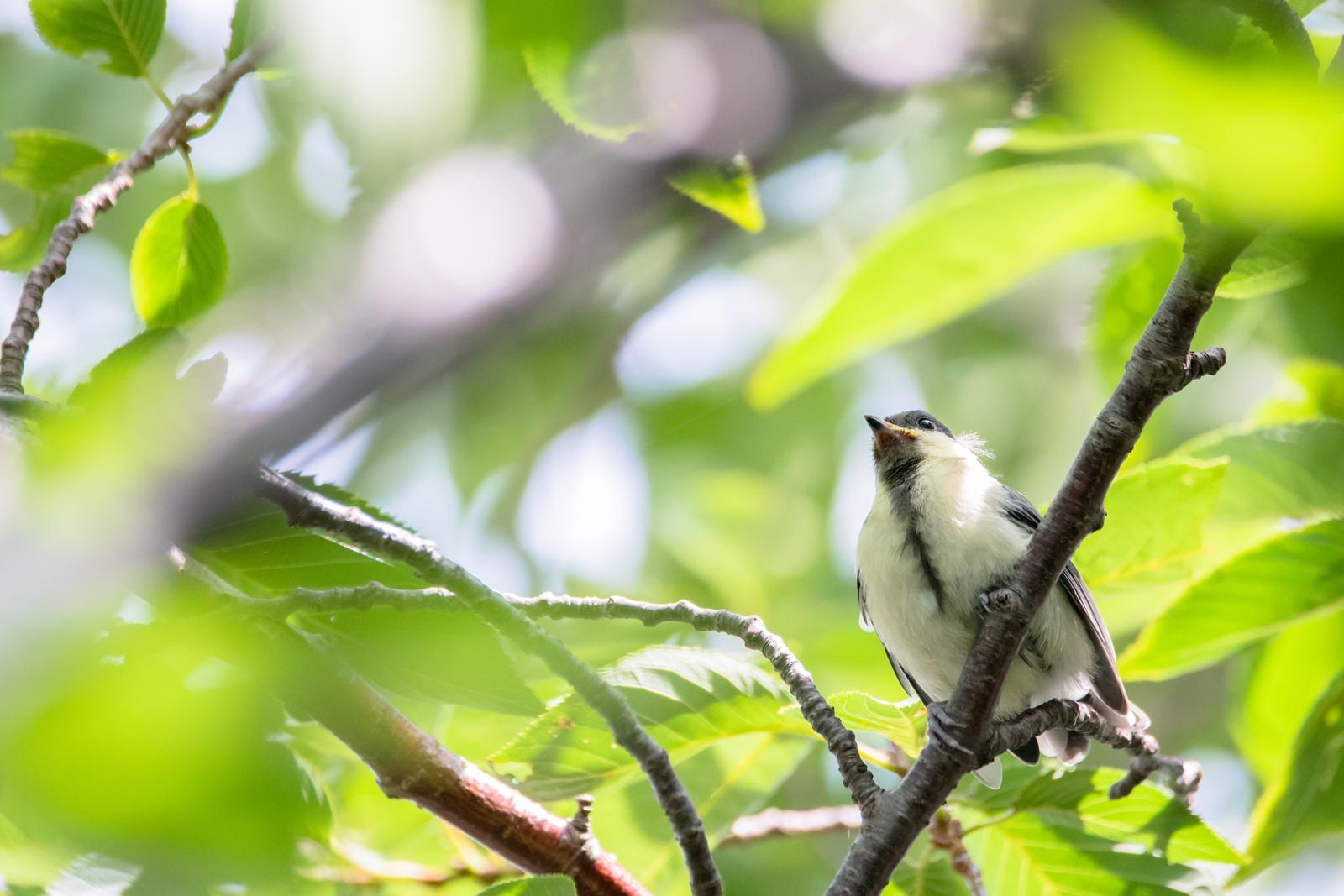 Photo: 「可能性に満ちて」 / Hopeful.  君には自由に飛べる翼がある 親からの希望が込められた 小さな翼 逞しく広い広い大空へ  Japanese Tit. (シジュウカラ)  Nikon D500 SIGMA 150-600mm F5-6.3 DG OS HSM Contemporary  #birdphotography #birds #kawaii #ことり #小鳥 #nikon #sigma  ( http://takafumiooshio.com/archives/2708 )