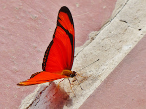 Photo: Julia od. Fackel (Dryas iulia, engl. Flamed or Orange Longwing) Fotografiert in Papallacta auf 3250 m NN.