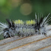 Spotted Tussock Moth Caterpillar