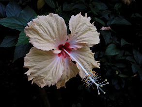 Photo: hibiscus flower, Kuraburi Greenview Resort