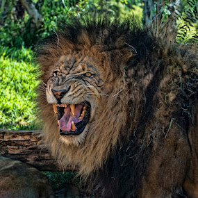 King of the jungle by Alan Crosthwaite - Animals Lions, Tigers & Big Cats ( lion, king of the jungle, predator, ferocious, mane, roar, lions, teeth )