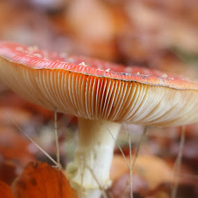 the red one by Hilda van der Lee - Nature Up Close Mushrooms & Fungi ( mushroom, red, autumn, forest, close up,  )