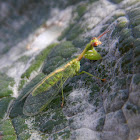 Green Mantidfly