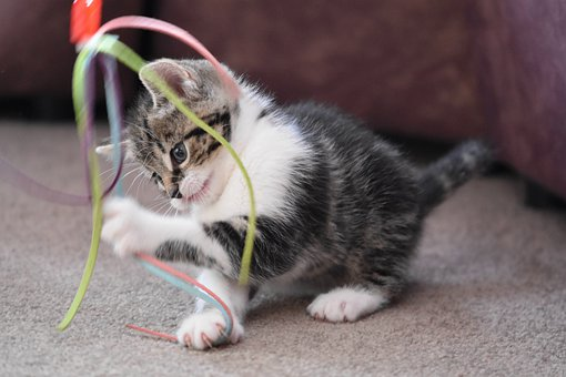 small indoor kitten playing with a cat wand