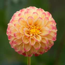 Dahlia 9934 by Raphael RaCcoon - Flowers Single Flower