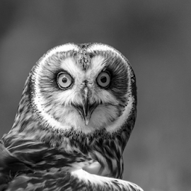 Owl by Garry Chisholm - Black & White Animals ( raptor, bird of prey, nature, garry, short eared owl )