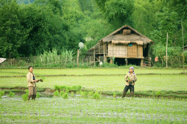 Rice planting in Mai Chau