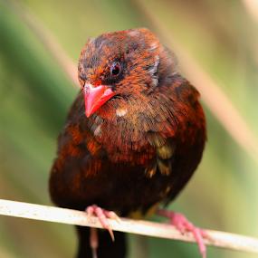 Red by Nelson Thekkel - Animals Birds (  )