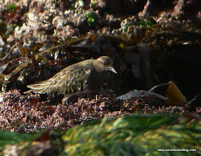 Photo: Black Turnstone scouring the rocks during low tide, Pt Lobos State Reserve.