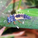 Multicolored Asian Lady Beetle (larvae)