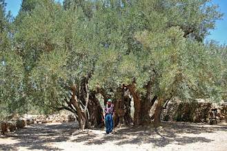 Photo: A picture of the oldest olive tree in all of historic Palestine, found in the small West Bank village of Al Walaja, near Bethlehem. Under the tree, believed to be 5,000 years old, is the owner of the land. (SOLD)
