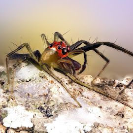 Jumping Spider by Sergio Frada - Animals Insects & Spiders ( iinsects, macro  colors nature )