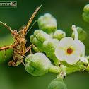 Asian Orange Plume Moth.