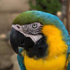 by Ken Mickel - Animals Birds ( bird, up close, nature, parrot, wildlife, close up, birds, photography )