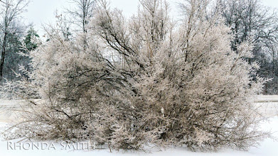 Photo: A big bush covered in ice.