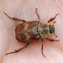 Three-lined Hoplia