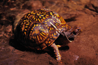 Photo: Eastern Box Turtle   My contribution to #turtletuesday curated by +LeLinda Bourgeois and +Candice Hansen
