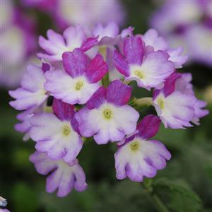 Image result for verbena bebop lavender
