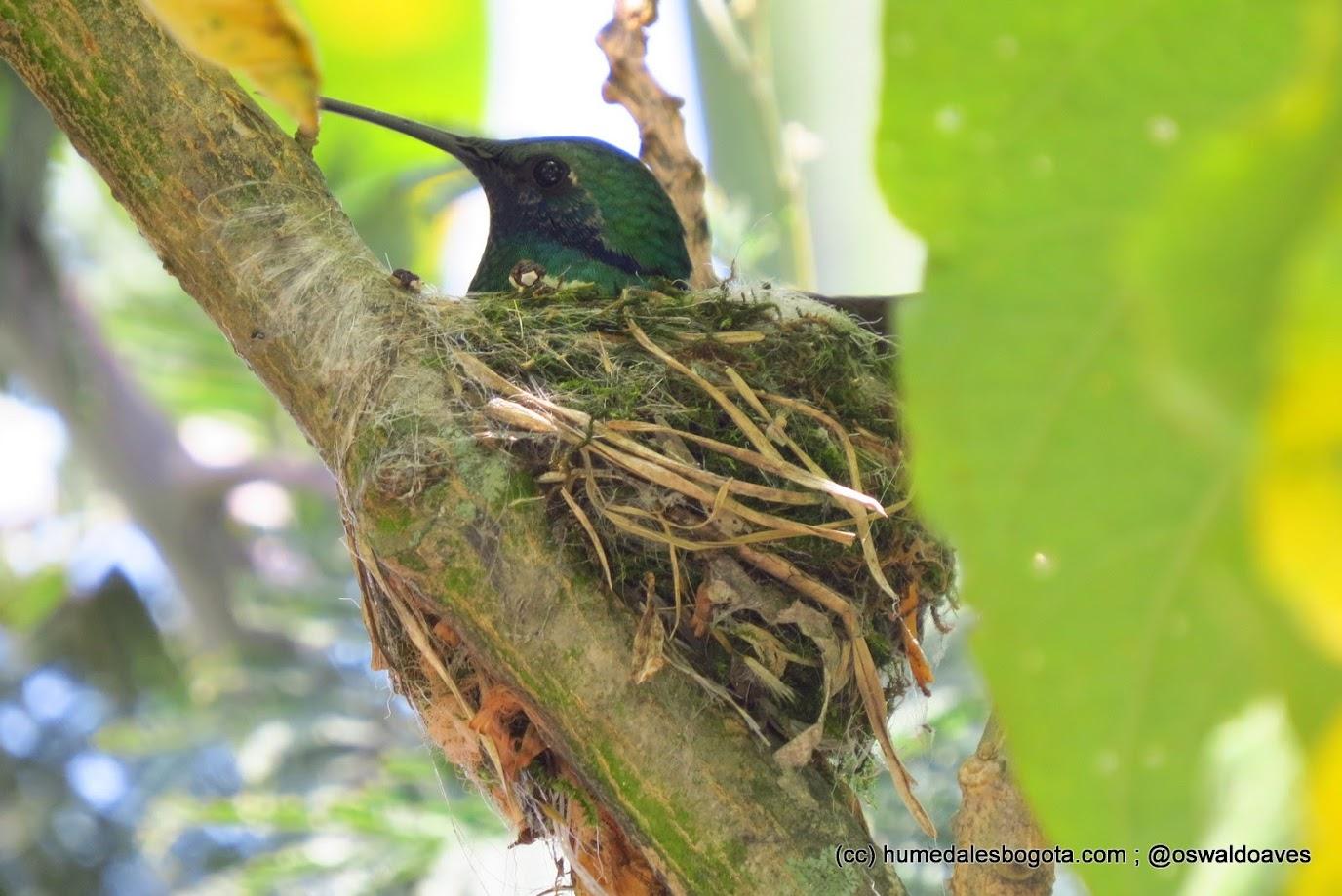 Colibrí en nido
