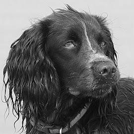 Revel in Mono by Chrissie Barrow - Black & White Animals ( monochrome, black and white, sprocker, pet, fur, grey, wet, dog, mono, animal )