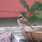 House Sparrow (pair)