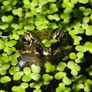 Frog head.JPG