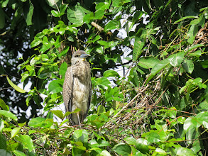 Photo: imm. Yellow-crowned Night-heron