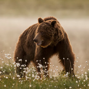 by Dennis Hallberg - Animals Other Mammals ( bear, predator, wild bear, brown bear, animal,  )