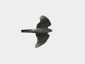 Photo: Priorslee Lake A fine shot of a female Sparrowhawk. Can be distinguished on size and the smaller male would also show rufous tones on the less clearly striped breast) (Ed Wilson)