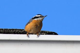 Photo: A Red-breasted Nuthatch on the eaves trough for #BackyardBirdingMonday curated by +Celeste Odono and +Ricky L Jones. Happy Monday everyone!