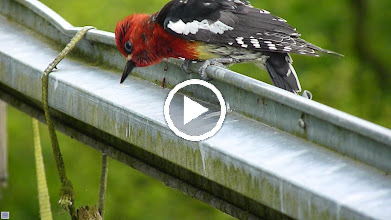 Video: Red-breasted Sapsucker drumming on metal gate