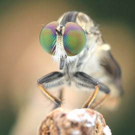 Robber Fly 180206A by Carrot Lim - Animals Insects & Spiders ( macro, colourful, colors, robber_fly, eyes,  )