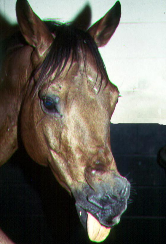 Adult mare showing severe wry nose.