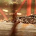 "Spiny tailed ""swamper"" Iguana"