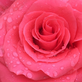 Perfect Rose by Michelle Bergeson - Flowers Single Flower ( rose, dew, pink, closeup, flower,  )