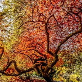 by Keith Sutherland - Uncategorized All Uncategorized ( maple trees, red leaves, canada )