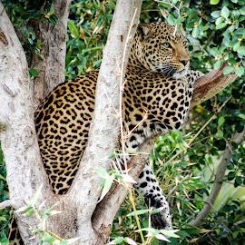 Peaceful Danger by Jurgen van Staden - Novices Only Wildlife ( big cat, wild, resting, nature, tree, wildlife, leopard,  )
