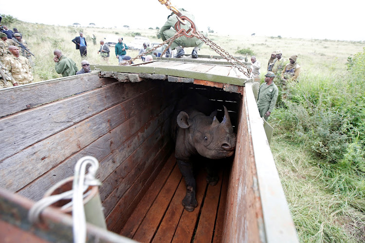 A female black rhino stands in a box before being transported during a rhino translocation exercise In the Nairobi National Park, Kenya.