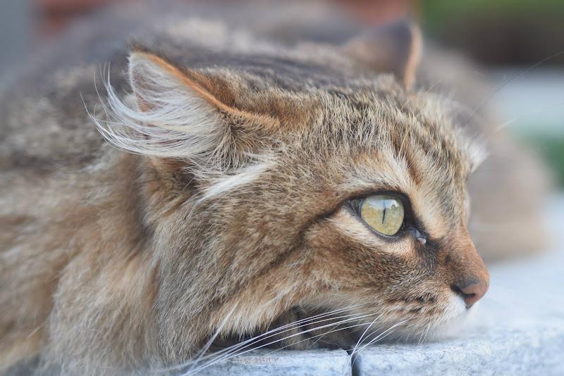occhi di gatto di Ylle