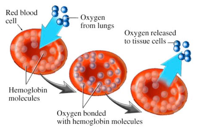 hymoglobin.png
