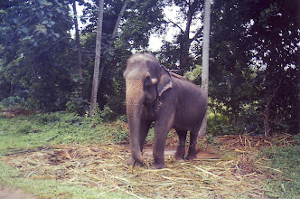 Photo: #003-Eléphant à Pinnawela