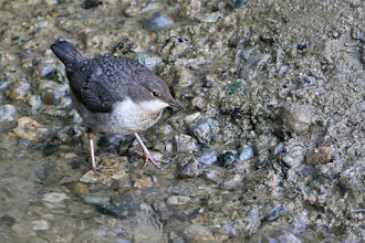Photo: White-throated Dipper