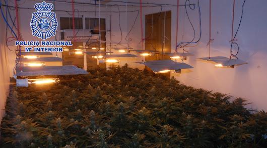 El bloque de la marihuana: desarticuladas tres plantaciones en El Ejido