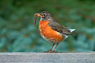 Photo: #BirdPoker Portraits curated by +Phil Armishaw  I'll open with a female American Robin with food for her little ones. I missed the food theme yesterday, and I'm going through the shots today. Some really amazing shots in there! Today should be pretty good too.
